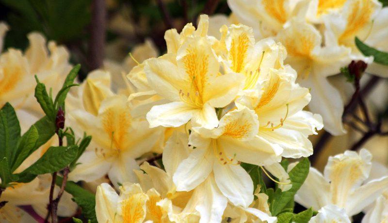 plantes ornementales