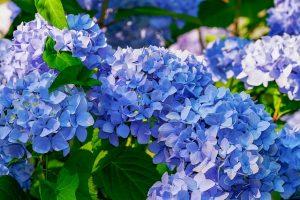 Prévention des maladies de l'hortensia